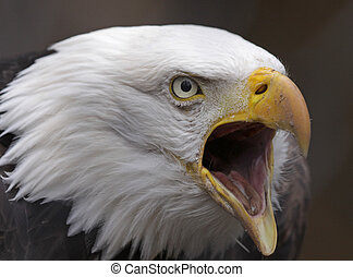 Screeching Bald Eagle - A Bald Eagle (Haliaeetus...
