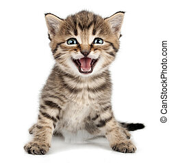 beautiful cute little kitten meowing and smiling - beautiful...