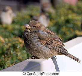 a crummy sparrow sits on a white bench