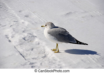 gull on cold white snow