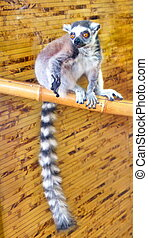 picture of a small mammal tailed lemur
