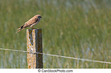 Common Kestrel over fence