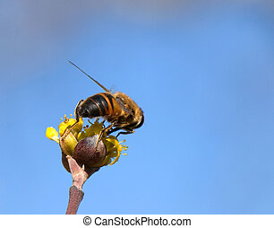 Working bee Collecting nectar