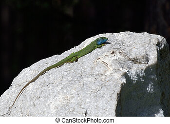 lizard on a white stone with black background