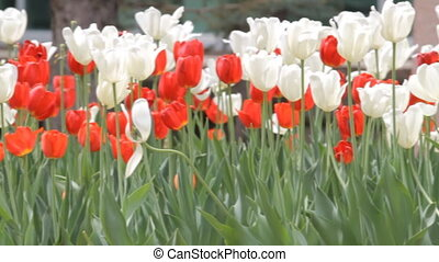 Tulips in the park - Red and White Tulips in the park....