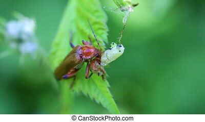 Soldier Beetle - caterpillar - Soldier Beetle when a...