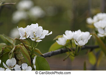 Apple Blossom - 01 - white blossom of apple trees in...