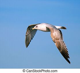 flying gull on a background blue sky