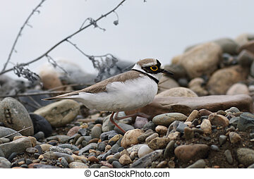 Little Ringed Plover (Charadrius dubius) of river pebbles