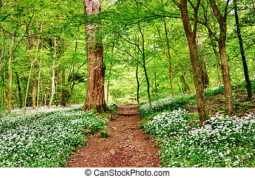 English woodland scene with wild garlic - Shady path running...