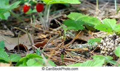 Wild strawberry berry growing in natural environment Macro...