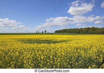 canola in summer