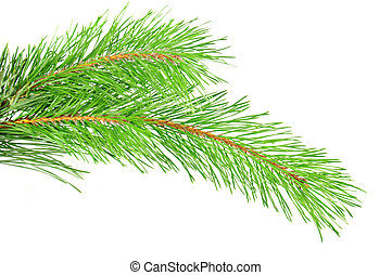 Pine branch - Green pine tree branch isolated on the white