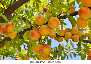 Plum tree with fruits - Plum (peach) tree with fruits...