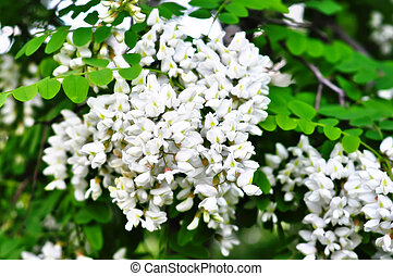 White acacia flowers - Branch of white acacia flowers on the...
