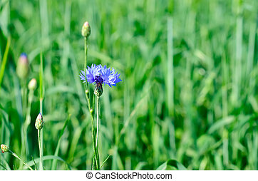 Cornflower - Wild blue cornflower on the green meadow