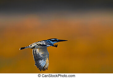 Flying Giant Kingfisher - Giant Kingfisher in flight in the...