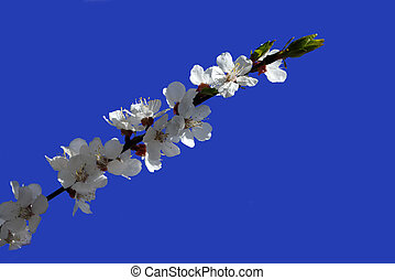 Apricot flowers on the blue