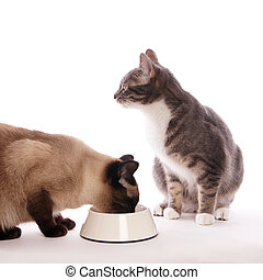 cat with feeding bowl - siamese cat with head stuck in...