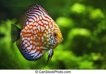 discus - The exotic discus fish swimming in an aquarium
