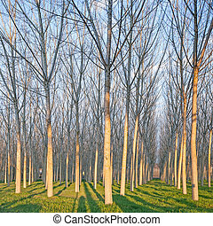 Poplar tree forest in winter. Emilia, Italy