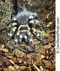 spider - big spider (theraphosidae)