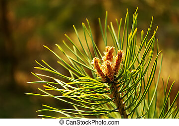 Pine sprig in the spring forest with buds