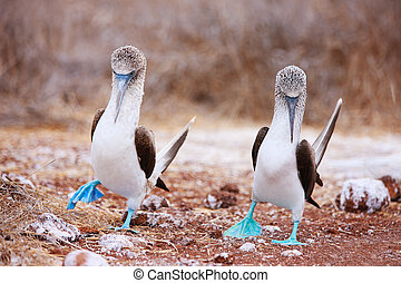Blue footed booby mating dance - Couple of blue footed...