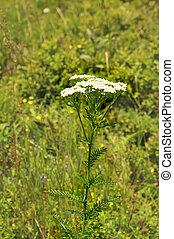 Achillea millefolium yarrow - healing herb on the meadow