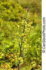Ablloom hypericum - Hypericum (tutsan) herb abloom on the...
