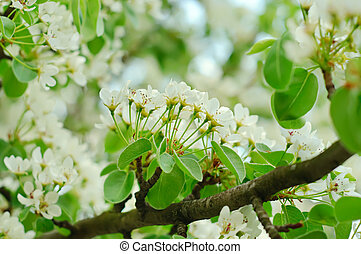 Pear tree - Branches of a blossoming pear-tree, shallow...