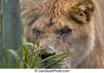 lioness stalking - a lioness stalking and focusing