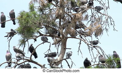 Urban Pigeons - Large number of pigeons occupied the...