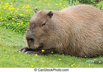 capybara sitting - a capybara relaxing in the grass