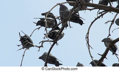 Pigeons on the branches - Large number of pigeons occupied...