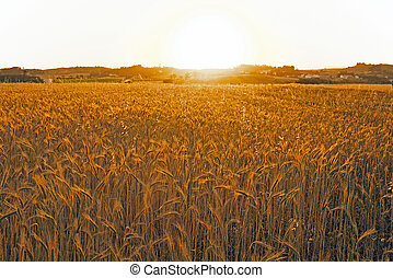 Sunset over the corn fields in Portugal