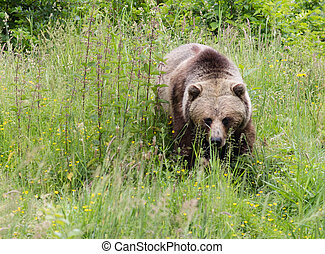 grizzly bear - a grizzly bear stalking in the grass