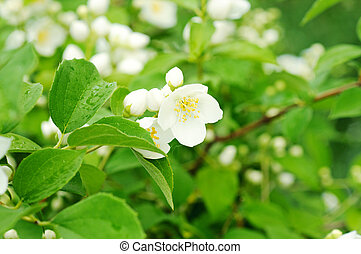 Jasmine flower growing on the bush in garden