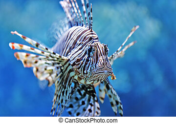 lionfish - beautiful lionfish swimming in the water column