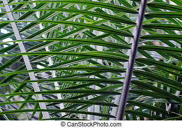 Palm tree leaf - Close - up of part of palm tree leaf.