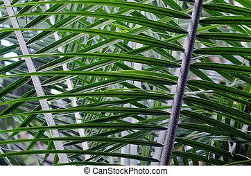 棕櫚, 樹, 葉子