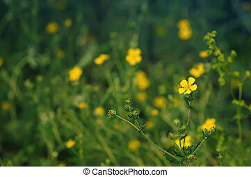 Buttercup flowers - Buttercup yellow flowers on the green...