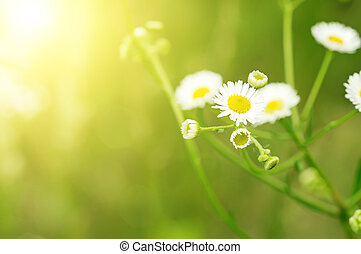 Wild camomile flowers growing on green meadow, macro image...