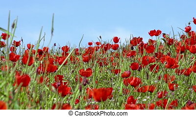 Poppy Field - Poppies on a background of blue sky slowly...