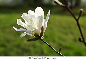 Magnolia flower - Blossoming of white magnolia flower in...