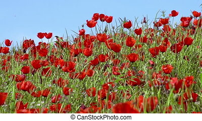 Panorama of Poppy Field - Poppies on a background of blue...