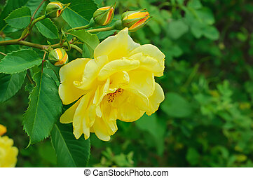 Yellow rose - Yellow beautiful rose growing in the garden