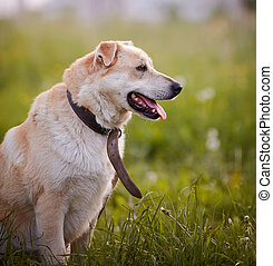 Portrait of a beige not purebred dog in an old collar. -...