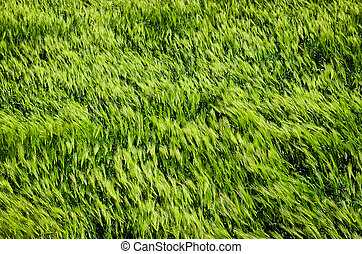 Detail of green barley field in the wind