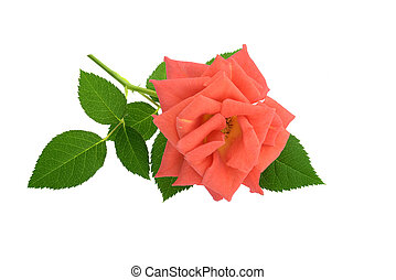 Pink rose isolated on white - Red pink rose isolated on...